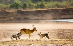 African Painted Dog feeding on a live puku kill in South Luangwa National Park, Zambia. A wild dog devouring a puku antelope which is still alive.  A gruesome Stock Photo
