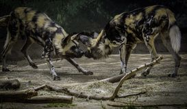 African Painted Dogs royalty free stock images