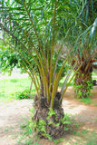 AN AFRICAN PALM Stock Photography