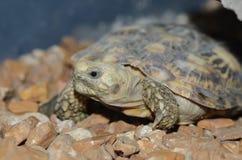 African pancake tortoise Royalty Free Stock Images
