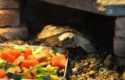 African pancake tortoise Royalty Free Stock Photography