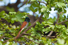 African Paradise Flycatcher. On a branch Royalty Free Stock Photography