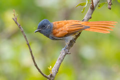 African Paradise Flycatcher. A female African Paradise Flycatcher, perched briefly on a branch in bushes situated in Kenya's Olare Orok Conservancy.  It wasn't Royalty Free Stock Photography