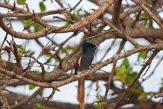 African Paradise Flycatcher portrait Stock Photo