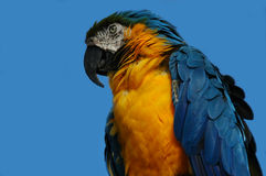 African Parrott Royalty Free Stock Photos