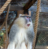African Patas Monkey or Red Guenon Stock Photos