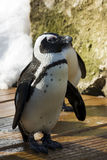 African penguin. Or penguin or black-footed penguin (Spheniscus demersus stock images