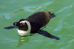 African penguin. Or penguin or black-footed penguin (Spheniscus demersus stock photo