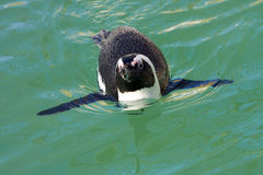 African penguin. Or penguin or black-footed penguin (Spheniscus demersus royalty free stock image