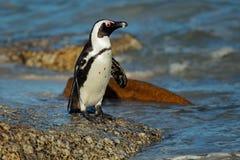 African penguin Stock Photos