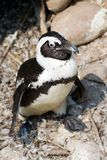African Penguin. An African Penguin with a rocky background royalty free stock images