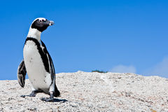 African Penguin. Lone African Penguin in Cape Town South Africa Stock Photos