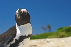 African Penguin. A lone African Penguin on the beach under the blue sky Stock Photos