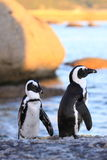 The African Penguin. African penguin at boulders beach South Africa stock photos
