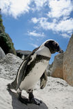 African Penguin. Jackass penguin walking along the beach at Boulder's Beach in Cape Town, South Africa Royalty Free Stock Image