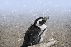African penguin also known as the jackass. African penguin  Spheniscus demersus also known as the jackass penguin and black-footed penguin in the snow Royalty Free Stock Photo