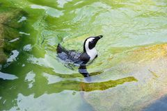 The African penguin, also known as the jackass penguin and black. Footed penguin is a species of penguin, confined to southern African waters Royalty Free Stock Photo