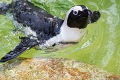 The African penguin, also known as the jackass penguin and black. Footed penguin is a species of penguin, confined to southern African waters Royalty Free Stock Photography