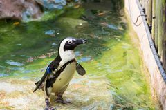 The African penguin, also known as the jackass penguin and black. Footed penguin is a species of penguin, confined to southern African waters Royalty Free Stock Images