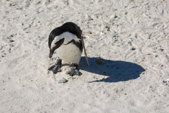 An African penguin, also known as a Jackass penguin. Looking around on the beach Stock Image