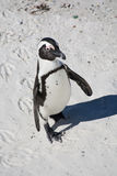 An African penguin, also known as a Jackass penguin. Walking on the beach Stock Image