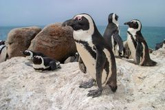 African Penguin Also Known As The Jackass Penguin And Black-footed Penguin Stock Photography
