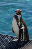 African penguin Stock Image