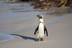 African penguin on the beach Stock Photography