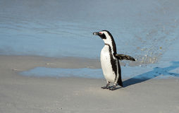 African penguin on the beach Royalty Free Stock Image