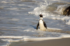 African penguin on the beach Stock Image