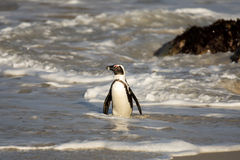 African penguin on the beach Stock Images