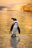 African penguin on the beach Stock Photos