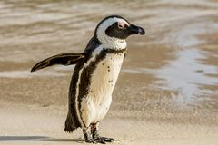 African Penguin. An African Penguin on a beach in Southern Africa stock image