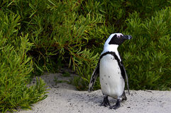 African penguin  at the Beach. Stock Photo