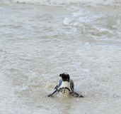 African penguin  at the Beach. Royalty Free Stock Images
