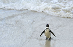 African penguin  at the Beach. Royalty Free Stock Photography
