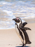 African Penguin on Beach Stock Images