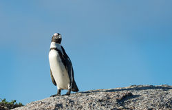 African penguin and blue sky Stock Photo