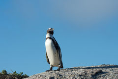 African penguin and blue sky Royalty Free Stock Photo