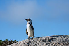 African penguin and blue sky Royalty Free Stock Photos