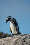African penguin and blue sky Stock Photography