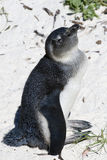 African Penguin at Boulders Be Stock Photography