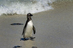African penguin at Boulders Beach Royalty Free Stock Photography