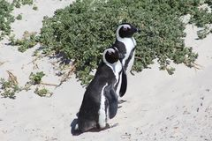 African Penguin on Boulders Beach. Adult Jackass penguin walking on the beach in South Africa with the tide coming in behind it Royalty Free Stock Photography