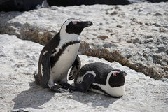 African penguin Boulders Beach Capetown. Two African penguin Boulders Beach Capetown Royalty Free Stock Photo
