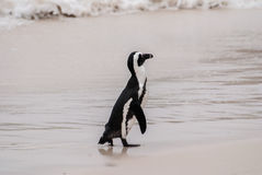 An African penguin on Boulders Beach Stock Photo