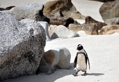 African Penguin on Boulders Beach Royalty Free Stock Photos