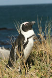 African Penguin. At Boulders Beach, Simonstown, Cape Town, South Africa stock photography