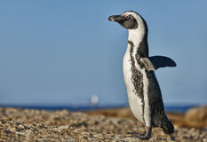 African Penguin at Boulders Beach Stock Photo