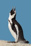 African penguin calling stock photos